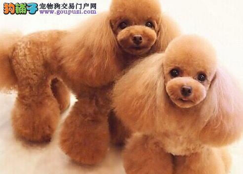多种颜色的济南泰迪犬找爸爸妈妈 请大家放心品质售后4