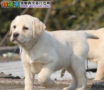 出售忠臣听话的济南拉布拉多犬 您可随时上门选购爱犬