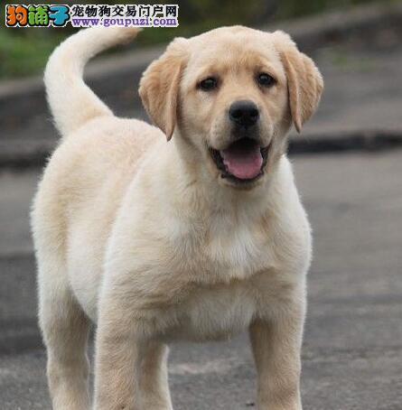 100%纯种健康的西安拉布拉多犬出售中 支持视频送货