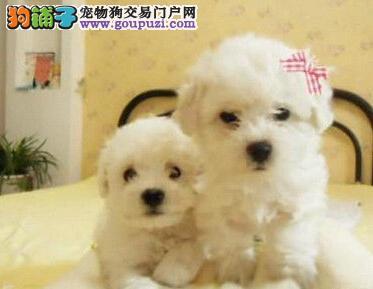 杭州自家狗场低价转让极品可爱卷毛比熊犬 有证书