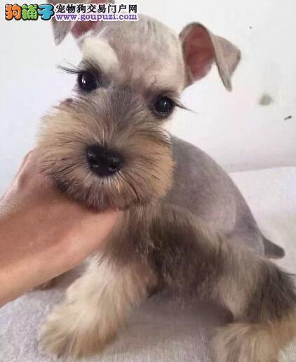CKU认证犬舍 专业出售极品 雪纳瑞幼犬下单有礼全国包邮