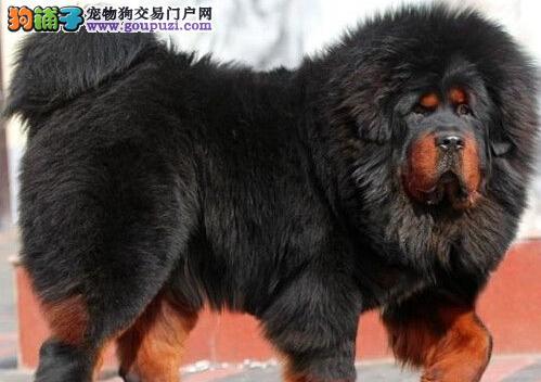 北京纯种藏獒幼犬 金獒 铁包金 红獒 雪獒出售了