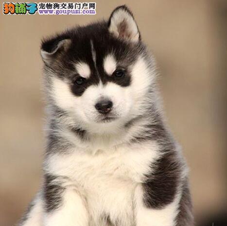 自己狗场繁殖超可爱保健康南京哈士奇幼犬 快来选购吧