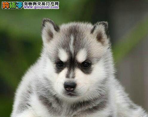 自己狗场繁殖超可爱保健康南京哈士奇幼犬 快来选购吧3