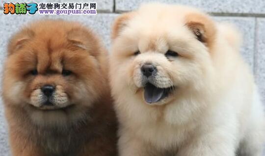 哪里有卖品种优良价格低廉的保定松狮犬 请大家放心选购