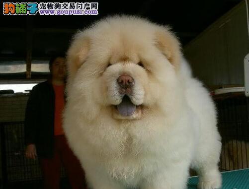 出售品种优良价格低廉的保定松狮犬 请大家放心选购