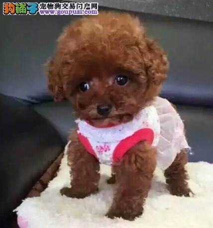 出售纯种的泰迪幼犬,血统纯正,公母都有,可上门挑选
