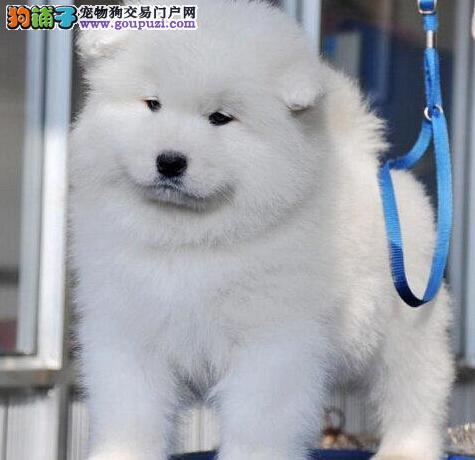 热销石家庄自家繁殖的萨摩耶幼犬 免费送货上门选购