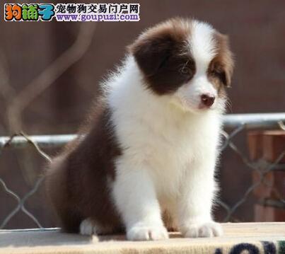 上海自家繁殖出售边境牧羊犬 世界第一聪明犬 齐白到位