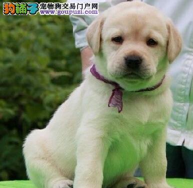北京出售拉布拉多幼犬 自家繁殖 24小时视频通话看狗