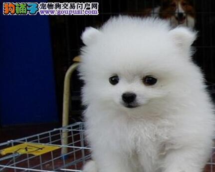 北京繁育袖珍博美犬转让哈多利小体博美小巧玲珑健康