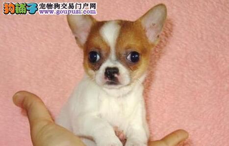 最小体型吉娃娃幼犬 墨西哥吉娃娃 签合同保一年健康