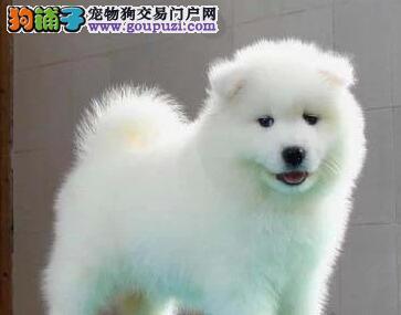 西宁自家繁殖的萨摩耶幼犬找新主人 数量优先别错过
