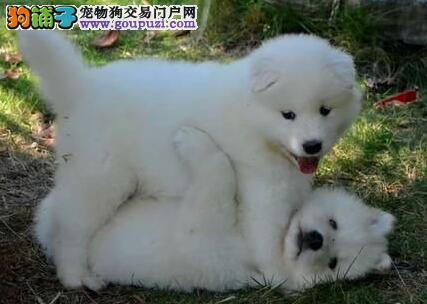 宠物界带有天使般甜美微笑的精品萨摩宝宝苏州热销中