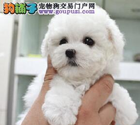郑州出售 小体白毛甜脸 法国纯种比熊犬1