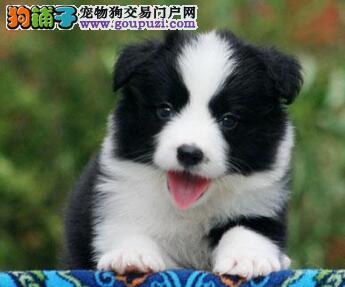 高智商七白到位边境牧羊犬幼犬特价出售,包纯种