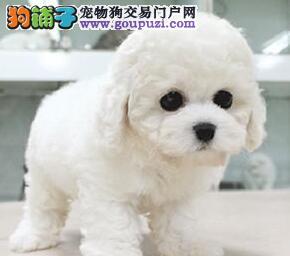 郑州出售 小体白毛甜脸 法国纯种比熊犬2