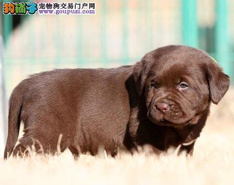 武汉帅气拉布拉多犬 可看狗视频 忠实神犬小七火热出售