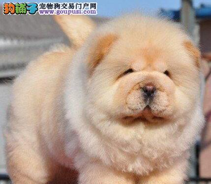 国内最具规模的赛级松狮犬舍 保健康 各颜色均有