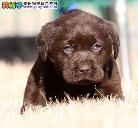 北京正规养殖基地出售精品拉布拉多犬 非诚勿扰可预订