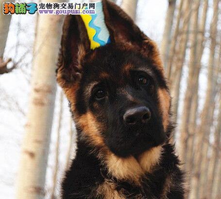 高品质德牧幼犬 质保终身 签署协议 免费送货上门