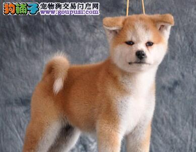 北京自家售精品秋田犬保纯健康疫苗驱虫均已做完签协议