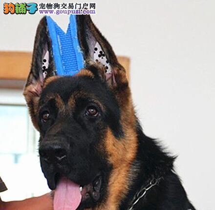 上海德国牧羊犬幼犬出售、锤系德牧视频、签协议