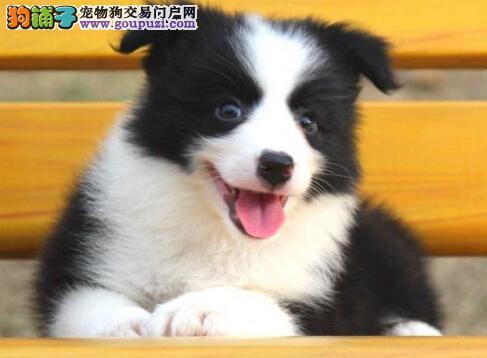 无锡最专业边境犬舍出售边境牧羊犬幼犬来场可看狗父母