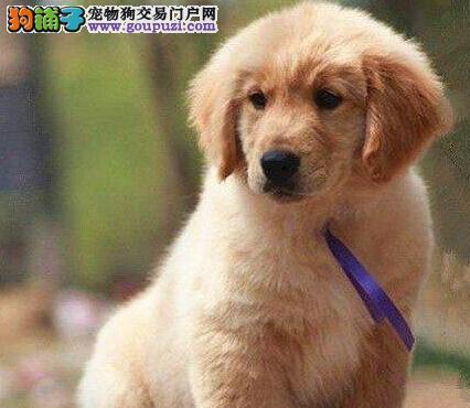 广州送用品出售纯种赛级金毛猎犬幼犬 签协议包养活