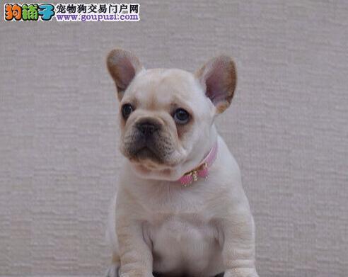 CKU犬舍认证沈阳出售纯种法国斗牛犬价格美丽品质优良3