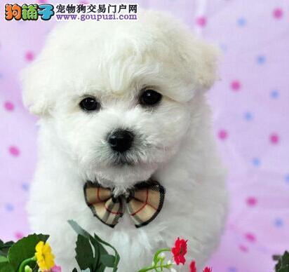 出售多种颜色成都纯种比熊幼犬以品质惊世人