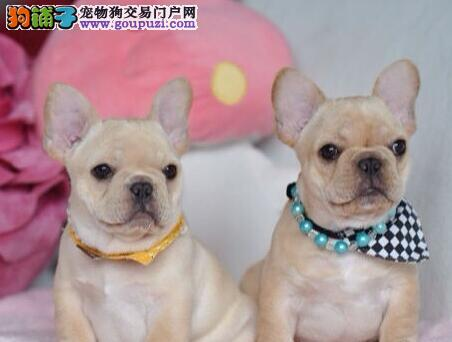 北京正规犬舍繁殖法国斗牛犬幼犬质量高纯血统价钱合理图片
