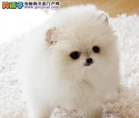 北京朝阳售博美宝宝 哈多利系博美 狐狸犬松鼠犬