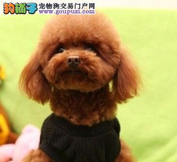 可爱纯种韩系贵宾犬特价转让 欢迎来包头实地考察挑选