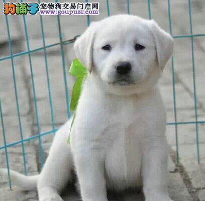 优惠价格出售纯种拉布拉多犬 哈尔滨周边地区可送狗