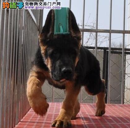 哈尔滨大型犬舍直销出售健康德国牧羊犬 价格优惠