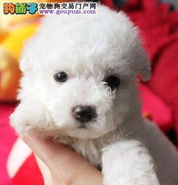欢迎来哈尔滨犬舍直接购买纯种卷毛比熊犬 有血统证书