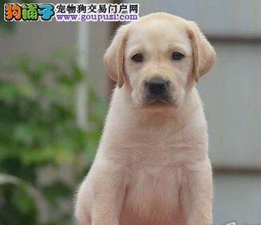 转让品质极佳血统纯正的郑州拉布拉多犬 保证品质售后