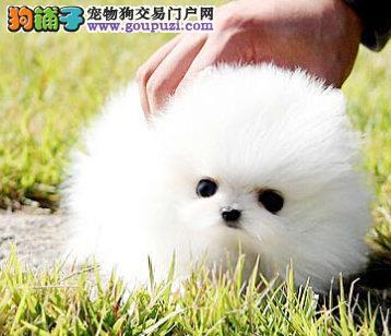 超高品质哈多利版博美犬犬舍热销 南京周边可上门挑选