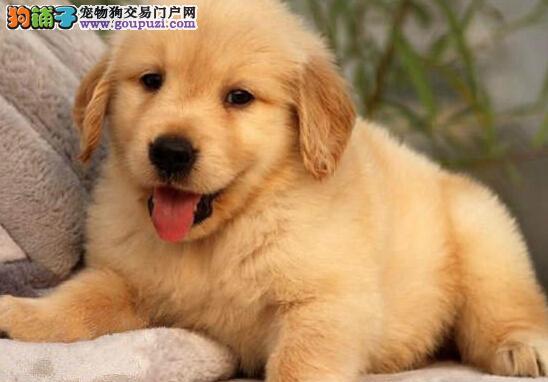 黄金猎犬品相的石家庄金毛犬 建议大家上门选购爱犬