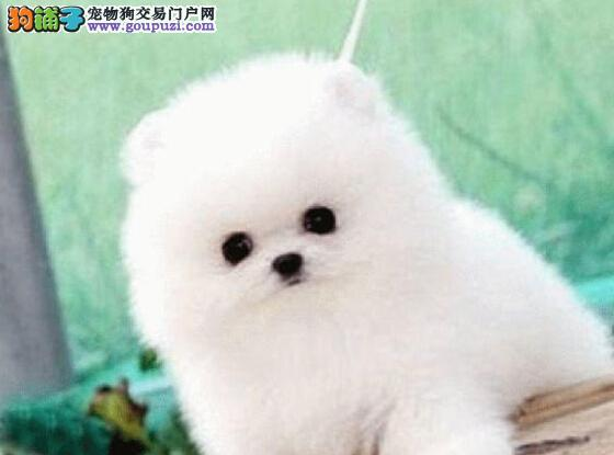 哈多利球形俊介血系的博美犬找新主人 唐山市内可送货