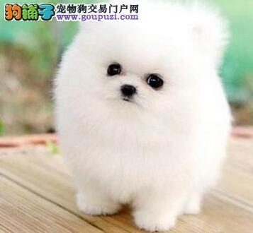 南昌大型狗场出售血统纯正顶级博美犬幼犬非诚勿扰