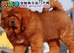 买纯种藏獒幼犬首选诚信獒园保证成活售后终身服务