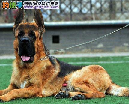 纯种帅气的德国牧羊犬纯种健康/可上门看狗狗