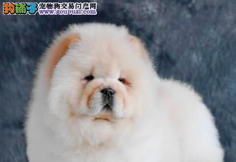 热销纯种大嘴紫舌杭州松狮犬 实体犬舍专业繁殖