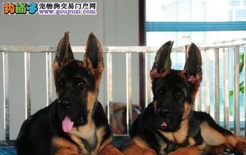 转让大头锤系杭州德国牧羊犬 三个月包退换终生包治疗