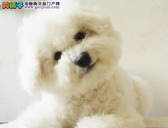 重庆纯种双血统比熊犬上门挑现场测健康包活3个月