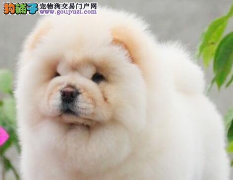 重庆地区出售品种优良纯属家养松狮犬