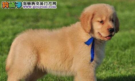 大骨架金毛犬西安犬舍直销中 可赠送狗笼子质量三包