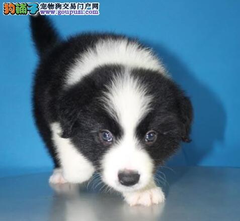 广州本地正规犬场出售七白三通纯种边牧养活签协议